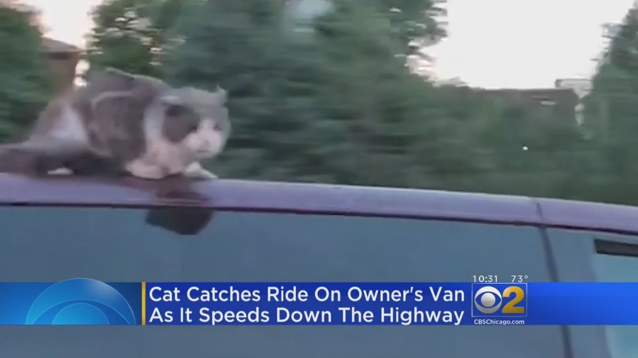 Rebel Cat Clings To Roof Of Owner's Van On Expressway